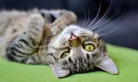 Foto Insufficienza renale gatto: cause, sintomi e cure