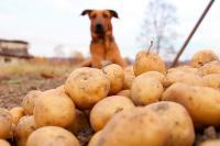 Foto Il Cane può mangiare patate dolci?