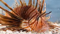 Foto 8 Pesci più velenosi e mortali