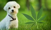 Foto 5 benefici dell'olio di canapa per Cani