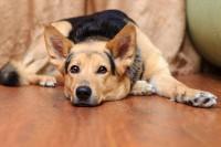 Foto Cane non riesce ad alzarsi: cause e trattamento