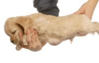 Foto Ernia inguinale nel Cane: sintomi e trattamento