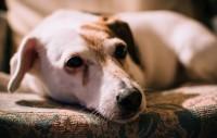 Foto Qual'è la temperatura normale per un cane adulto o cucciolo?