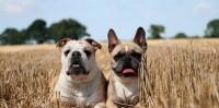 Foto 10 Razze di Cani disubbidienti