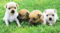 Foto 10 Razze canine più piccole e toy