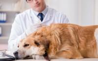 Foto Fosfatasi alcalina alta nei cani: cosa significa?