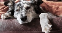 Foto Testicolo gonfio nel Cane: cause e trattamento