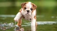 Foto Malattie del Bulldog Inglese