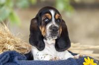Foto Seborrea nel cane: cause, sintomi e trattamento