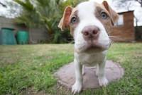 Foto Cuccioli di American Pitbull