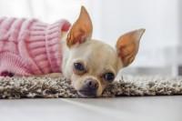 Foto Idrocefalo nel Cane: cause, sintomi e trattamento