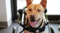 Foto Come trattare l'artrite e i dolori articolari nei cani