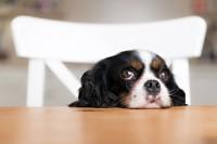 Foto Malattia di Rubarth nel Cane: sintomi e trattamento dell'epatite canina
