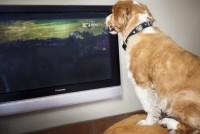 Foto Ai cani piace guardare la TV?