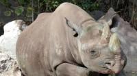 Foto Tanzania: il rinoceronte nero più antico è morto