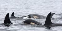 Foto Orche avvistate per la prima volta nello stretto di Messina
