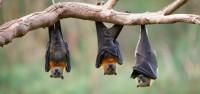 Foto Pipistrelli e vampiri: si nutrono di sangue?