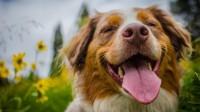 Foto Perchè il Cane esce la lingua?