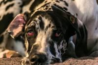Foto Herpesvirosi nei cani: malattia, sintomi e trattamento