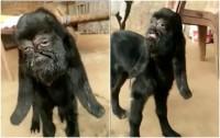 Villaggio indiano terrorizzato dalla capra nata con il volto umano