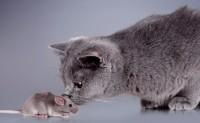 Foto Il mio gatto ha mangiato un topo: cosa fare?
