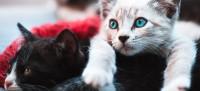 Foto Comportamento di un gatto in calore