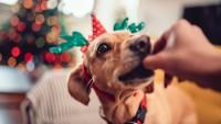 Foto Il mio cane può mangiare il panettone?