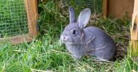 Foto Perchè il coniglio mangia la sua cacca?