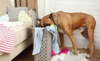 Foto Il mio cane ha mangiato un batuffolo di cotone: cosa faccio?
