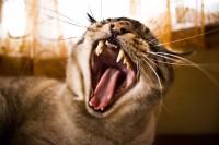 Foto Perché la bocca del mio gatto puzza?