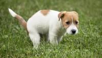 Foto Quante volte un cane fa la cacca in un giorno?