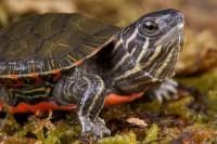 Foto Problemi agli occhi nella tartaruga