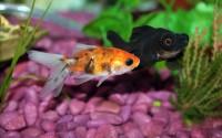 Foto Perchè il mio pesce rosso sta diventando nero?