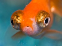 Foto Malattia di Popeye nei pesci: cause, cure e prevenzione