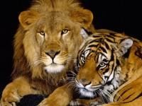 Foto Differenze tra Leone e Tigre