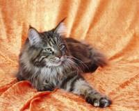 Foto Come capire se un gatto è un Maine Coon
