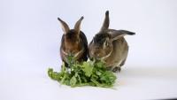 Foto Il mio coniglio può mangiare rucola?