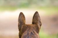 Foto Perché il mio cane si gratta molto le orecchie?