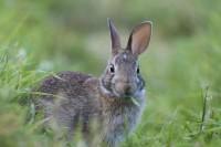 Foto I conigli possono mangiare l'erba del cortile?