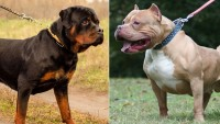 Foto Rottweiler vs Pitbull: differenze e somiglianze