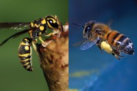 Foto Differenza tra ape, vespa e calabrone