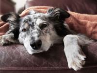 Foto Alabama Rot: una malattia del cane fatale ma poco conosciuta