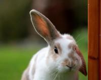 Foto I conigli hanno un buon udito?