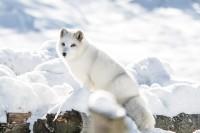 Foto Animali che vivono al Polo Nord