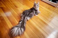 Foto Gatti che hanno la coda più lunga