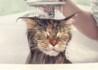 Foto La pulce del gatto potrebbe trasmettere il coronavirus