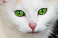 Foto Colore del naso del Gatto: perchè può cambiare?