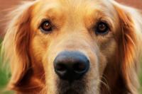 Foto Cataratta nel cane: sintomi e cure