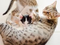 Foto Perché i gatti mangiano i loro cuccioli?