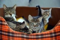 Foto Quante volte un gatto può partorire in un anno?
